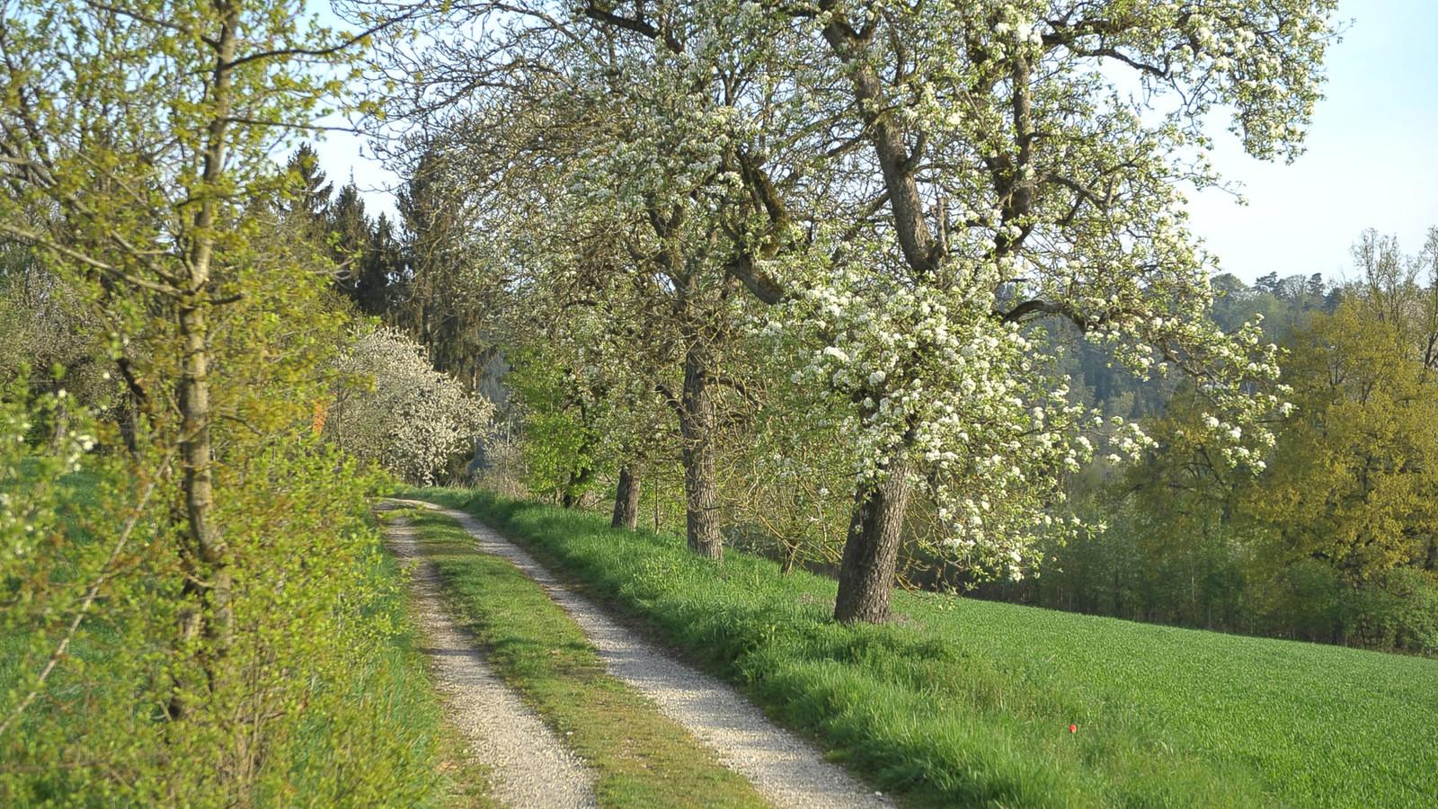 Apfelblüten am Apfel-Radl-Weg
