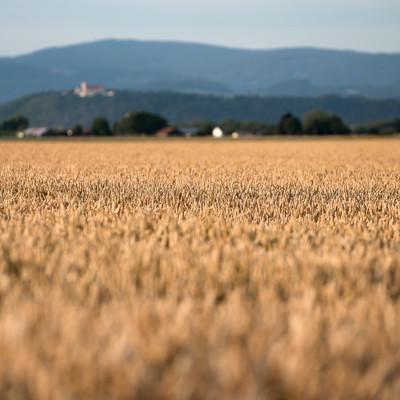 Der Gäuboden wird auch die Kornkammer Bayerns genannt.
