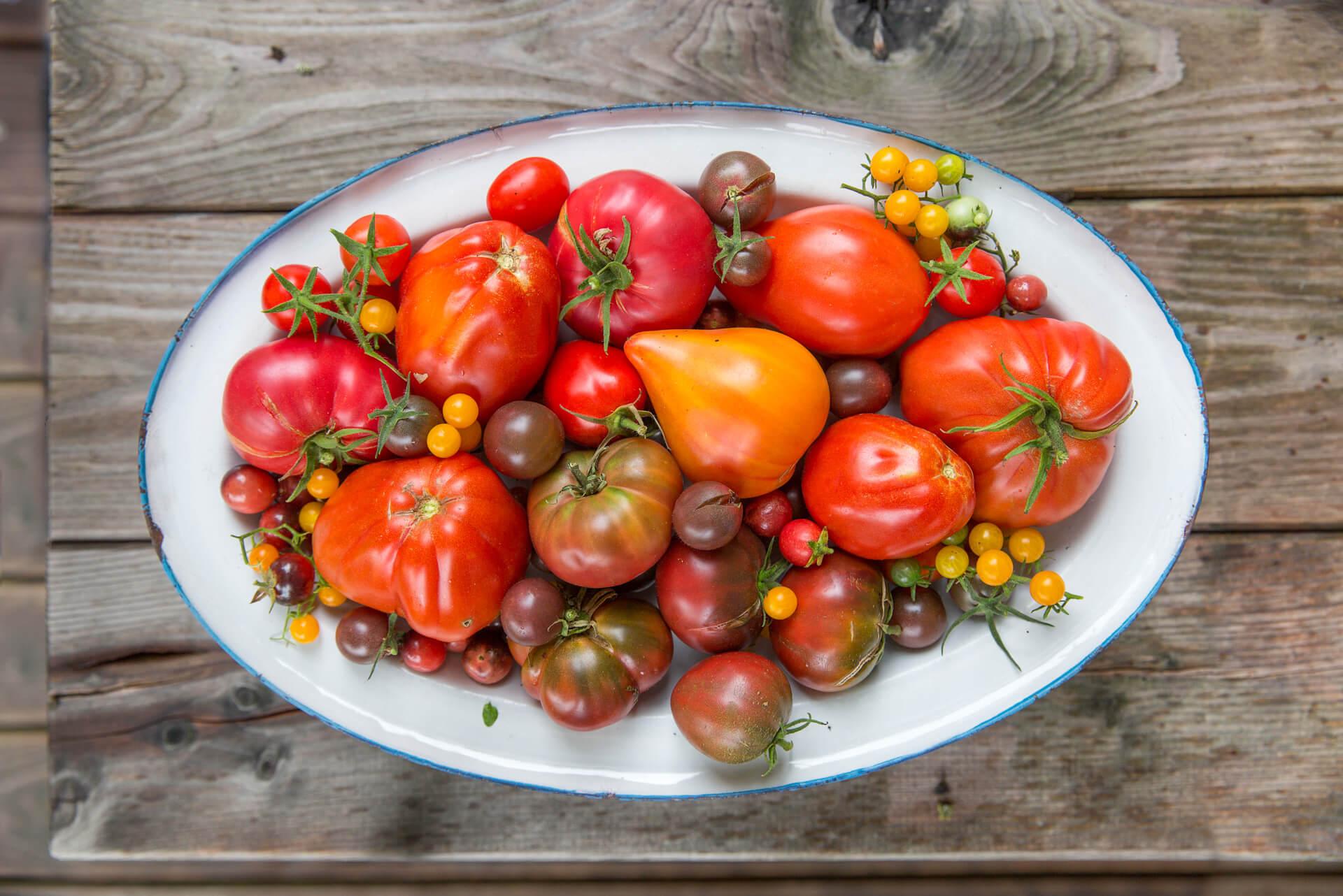 Was für eine Pracht: Tomatenernte im Bayerischen Golf- und Thermenland
