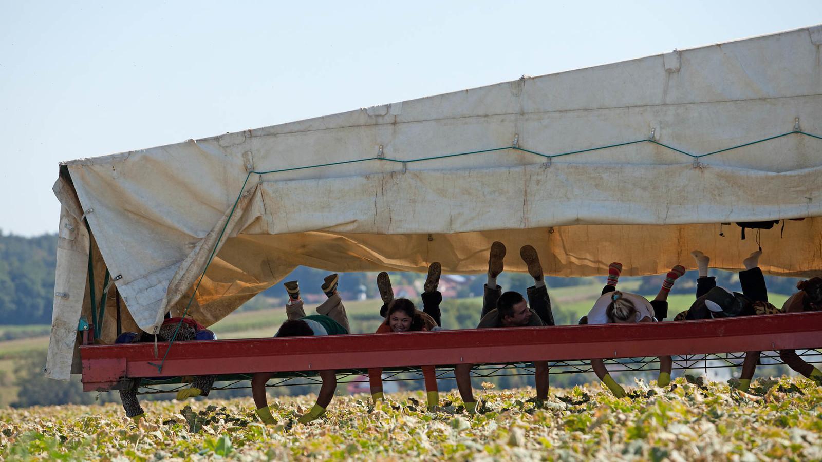 Gurkenernte im Vilstal im Ferienland Dingolfing-Landau, dem größten Gurkenanbaugebiet Europas