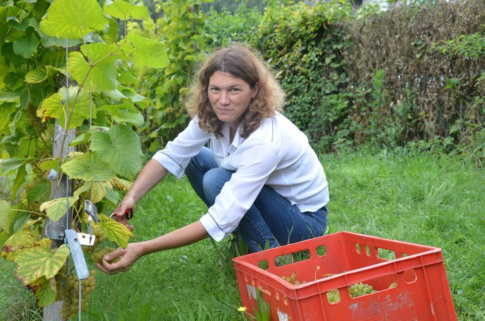 Landrätin Tanja Schweiger packt bei der Weinlese tatkräftig mit an.