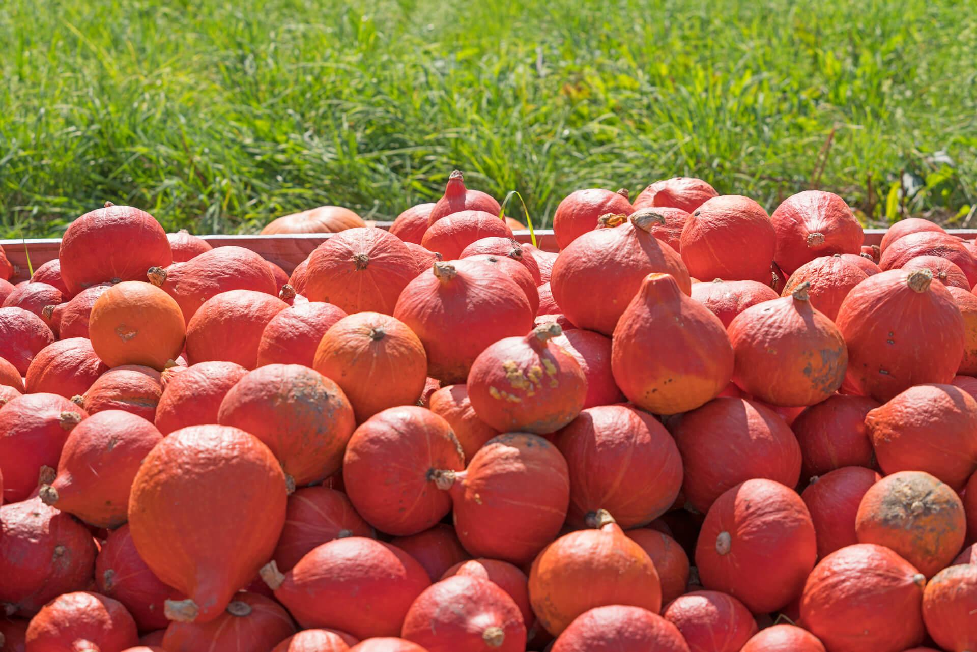 Reiche Ernte: Die Ergoldsbacher Kürbisse sind besonders schmackhaft