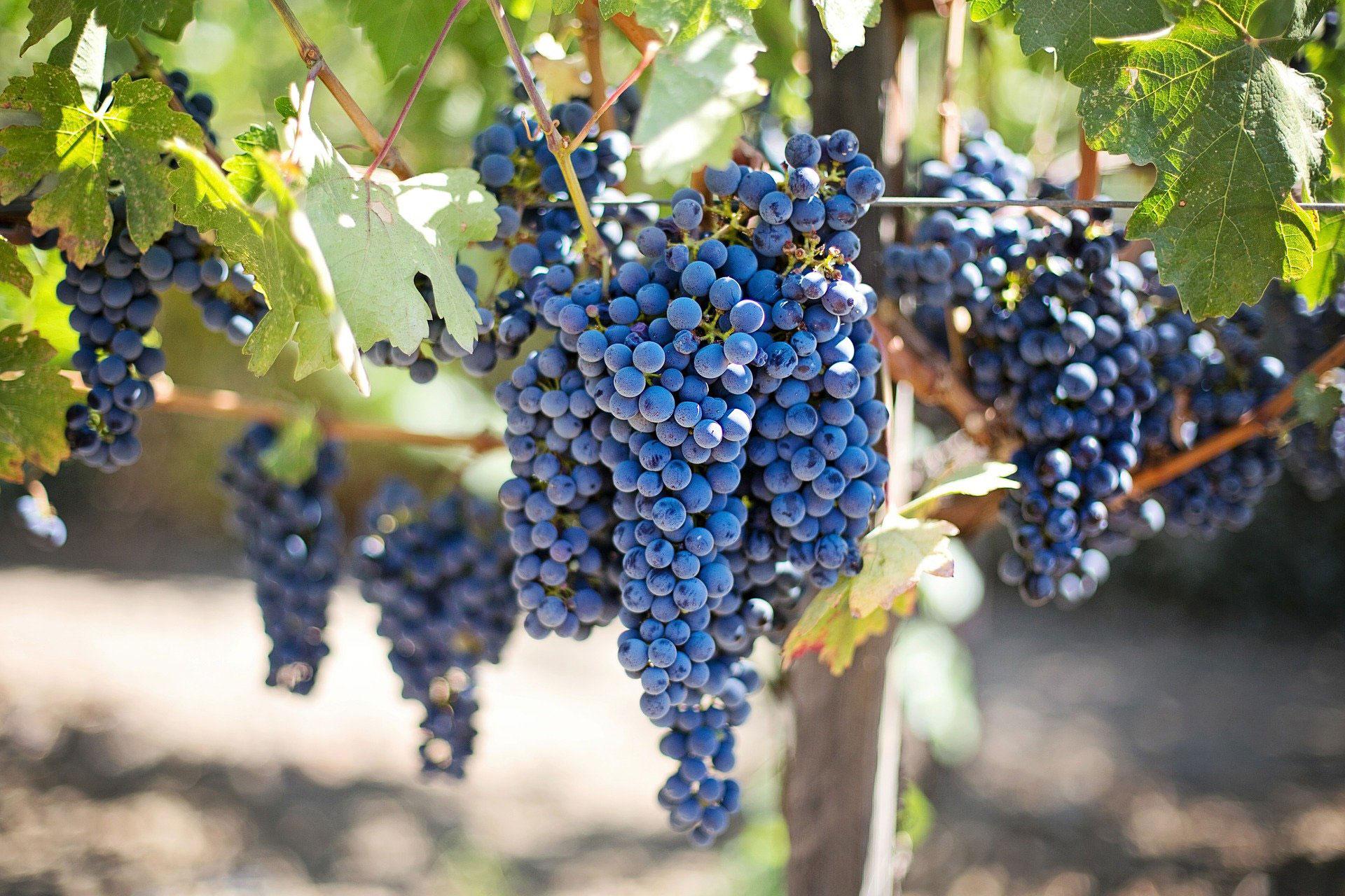 Die Römer brachten den Weinbau in die Region. Bis heute gibt es hier kleine Weinbaugebiete.