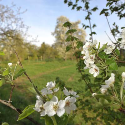 Unterwegs bei der Obstbaumblüte am Apfel-Radl-Weg